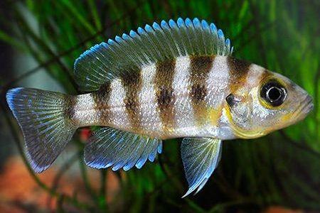Gambar ikan Sexfasciatus