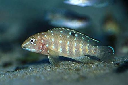Gambar ikan Spotfin Goby Cichlid