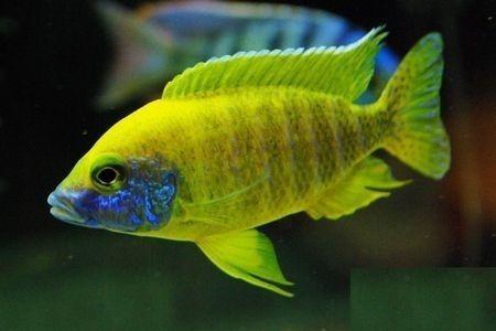 Gambar ikan Sunshine Peacock