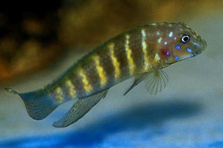 Gambar ikan Tanganyikan Goby Cichlid