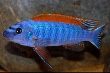 Gambar ikan Trewavas Red-Finned Cichlid