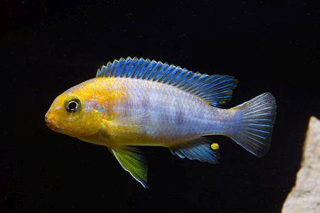 Gambar ikan Tropheops Red Cheek