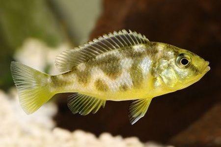 Gambar ikan Venustus