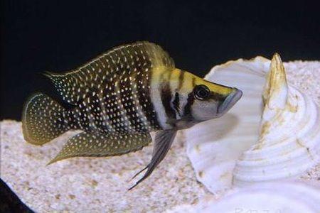 Gambar ikan White Pearly Calvus