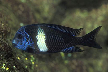 Gambar ikan White Spotted Cichlid