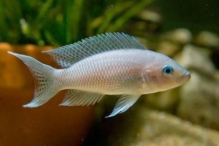 Gambar ikan White-Tailed Brichardi