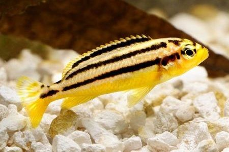 Gambar ikan auratus cichlid