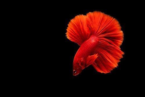 Gambar ikan cupang merah