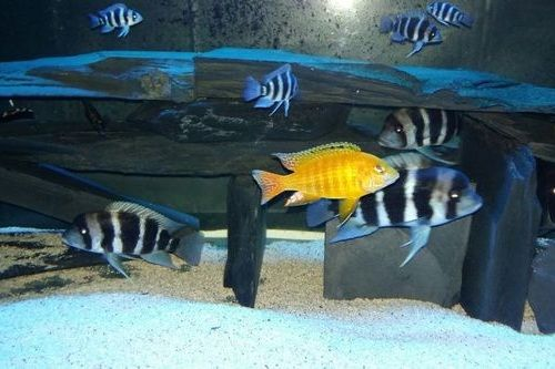 Gambar ikan frontosa