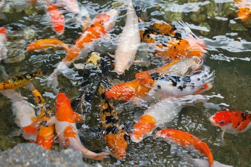 Gambar kolam koi