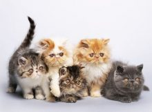 Gambar kucing Persia lucu