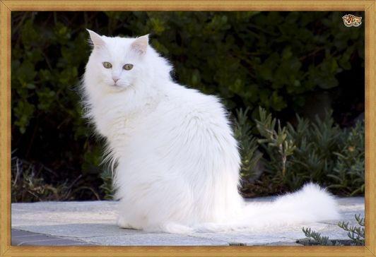 Gambar kucing anggora anakan