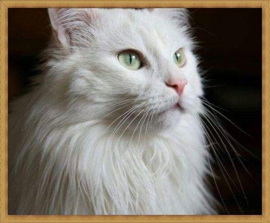 Gambar kucing anggora asli