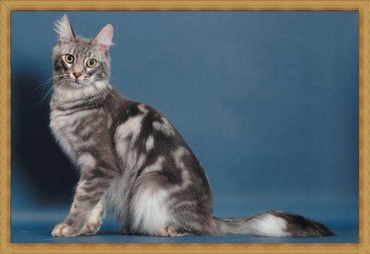 Gambar kucing anggora belang