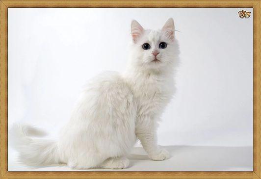 Gambar kucing anggora bulu pendek