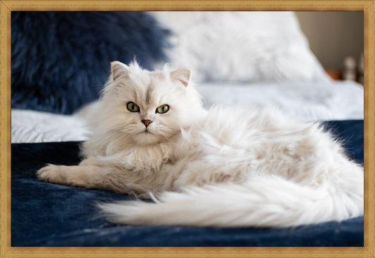 Gambar kucing anggora campur persia