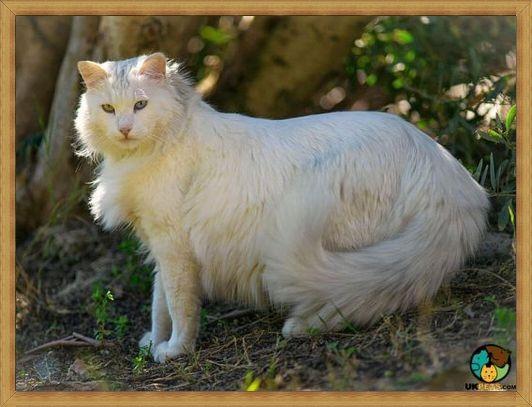 Gambar kucing anggora di alam liar