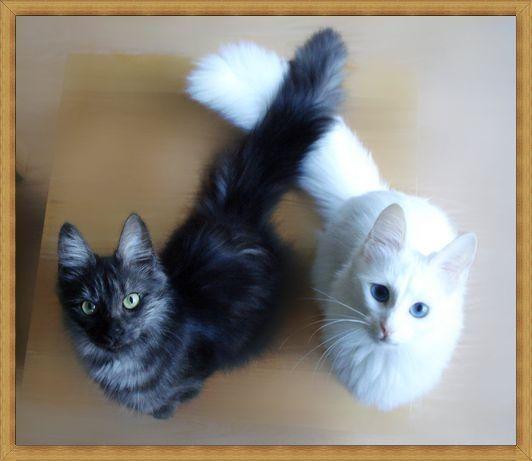 Gambar kucing anggora hitam putih