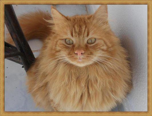 Gambar kucing anggora imut