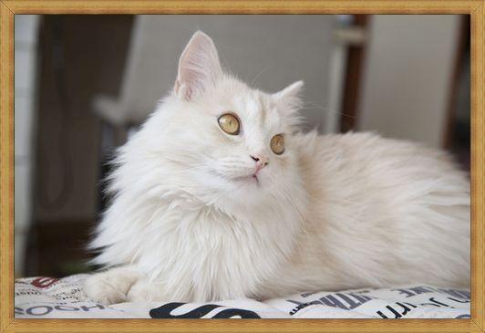Gambar kucing anggora jantan