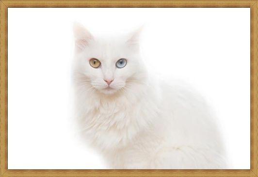 Gambar kucing anggora kecil