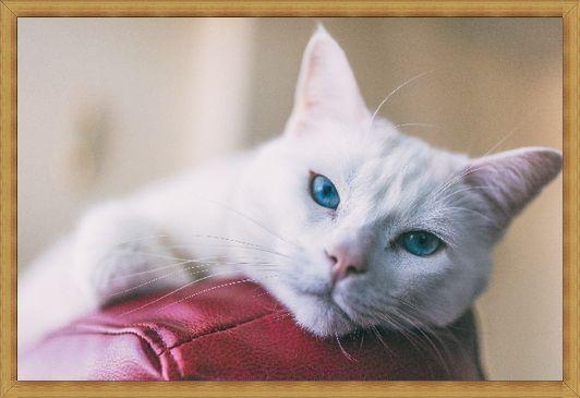 Gambar kucing anggora mata biru
