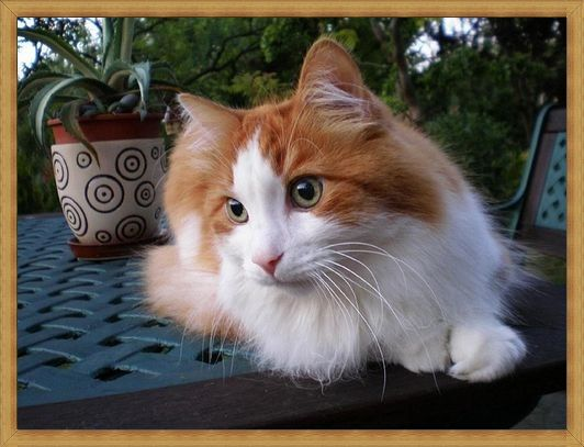 Gambar kucing anggora murah