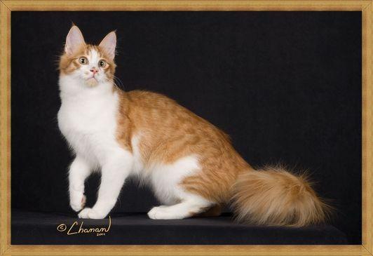 Gambar kucing anggora oranye