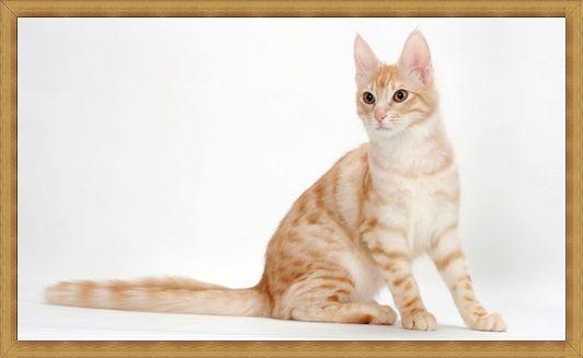 Gambar kucing anggora oren