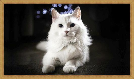 Gambar kucing anggora putih