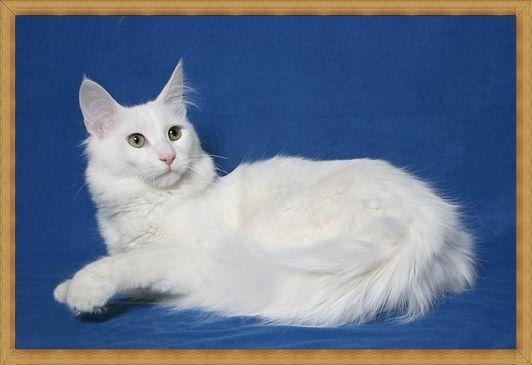 Gambar kucing anggora ras asli