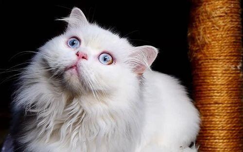 Gambar mata kucing Persia