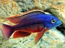 Ikan Cichlid Afrika