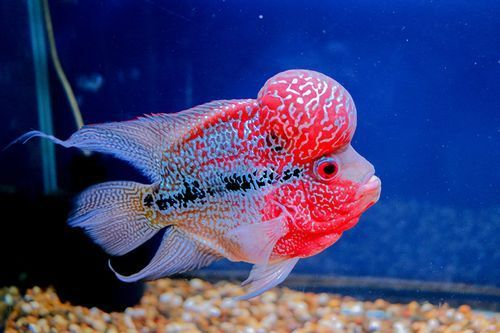 Ikan Flowerhorn