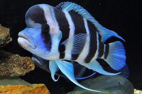 Ikan Frontosa Burundi