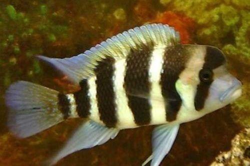 Ikan Frontosa Kavala