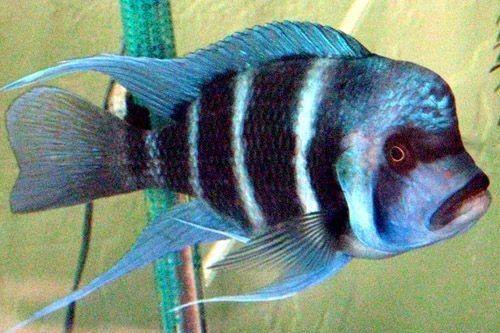 Ikan Frontosa Kipili