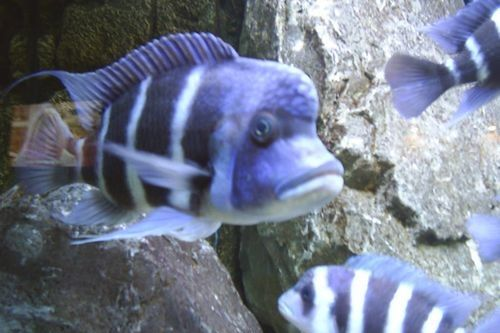 Ikan Frontosa Tanzania
