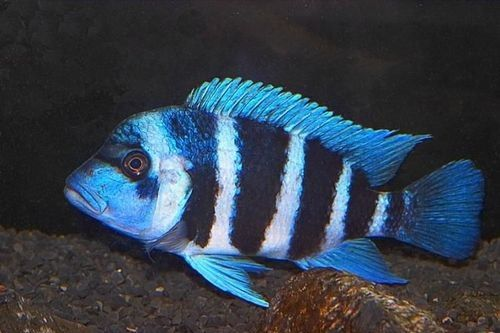 Ikan Frontosa Zaire