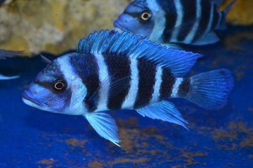 Ikan Frontosa Zambia biru