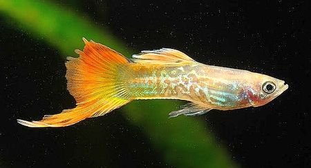 Gambar Ikan Guppy Bottom Swordtail