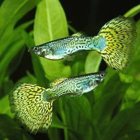 Gambar Ikan Guppy Cobra