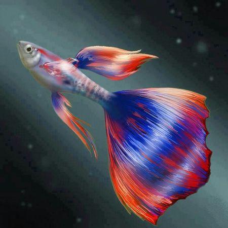 Gambar Ikan Guppy Fantail