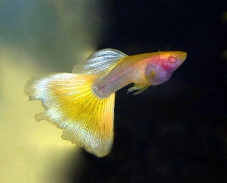 Gambar Ikan Guppy Glass
