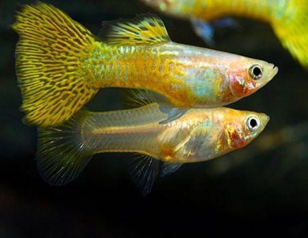 Gambar Ikan Guppy emas