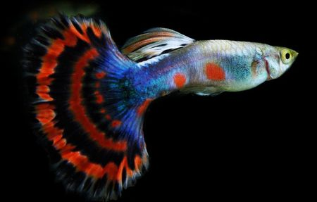 Gambar Ikan Guppy Halfmoon tail