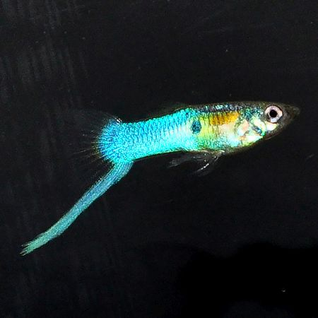 Gambar Ikan Guppy Japanese Blue