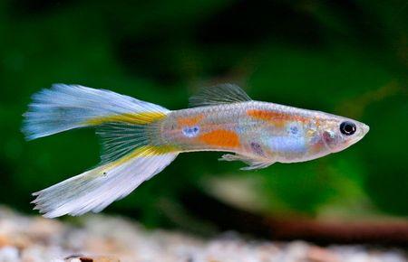 Gambar Ikan Guppy Lyretail