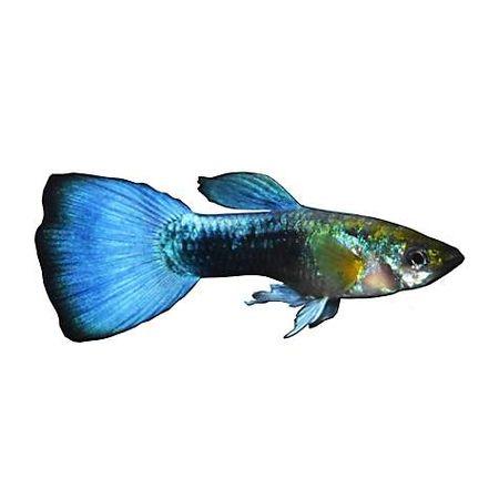 Gambar Ikan Guppy Neon Biru
