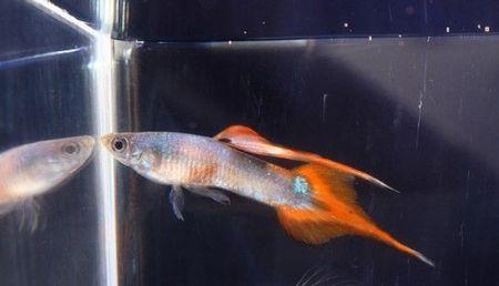 Gambar Ikan Guppy Pintail